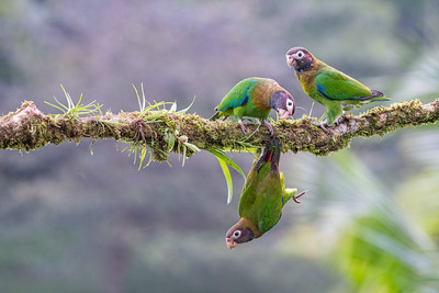Brown-hooded Parrot - Alajuela, Costa Rica