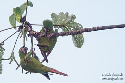 Chestnut-fronted Macaw - Amazonia Lodge, Nr. Manu National Park, Peru