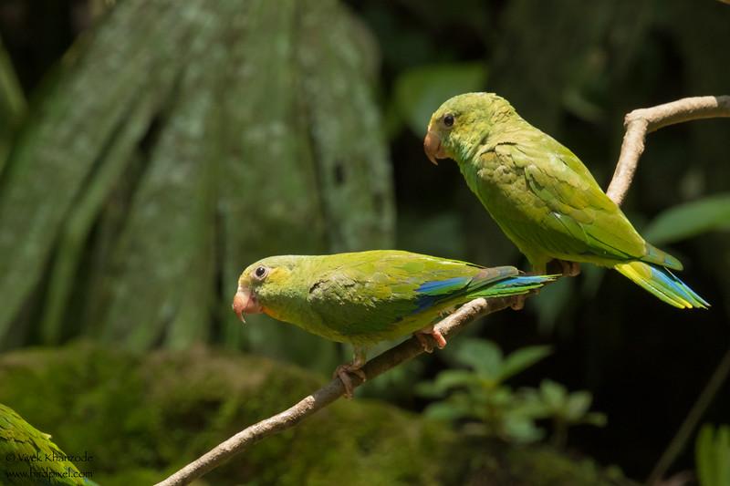 Cobalt-winged Parakeet - Amazon, Ecuador