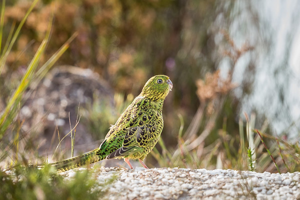 Ground Parrot_D Stowe_8718