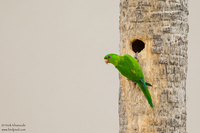 Green Parakeet - Weslaco, TX, USA