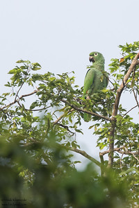 Mealy Parrot - Gamboa Rainforest Resort, Gamboa, Panama