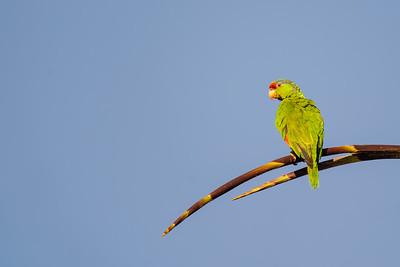 Mitred Parakeet - La Jolla, CA, USA