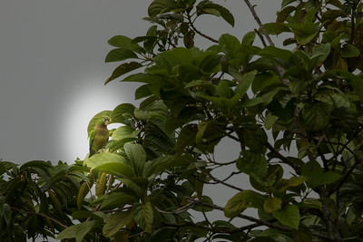 Olive-throated Parakeet - Crooked Tree, Belize