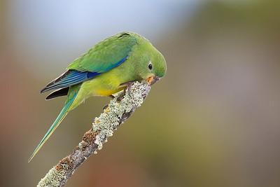 D Stowe_Orange-bellied Parrot-7052
