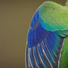 Orange-bellied Parrot_detail©DavidStowe