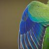 Orange-bellied Parrot_detail©DavidStowe