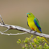 Orange-bellied Parrot©DavidStowe