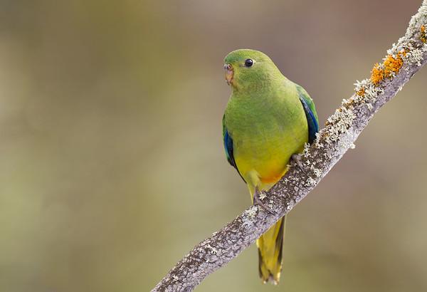 Orange-bellied Parrot-1077©DavidStowe