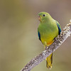 Orange-bellied Parrot-1077©DavidStowe