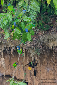 Blue-headed Parrots and a Orange-cheeked Parrot - Tambo Blanquillo Clay Lick, Manu Biosphere Preserve, Peru