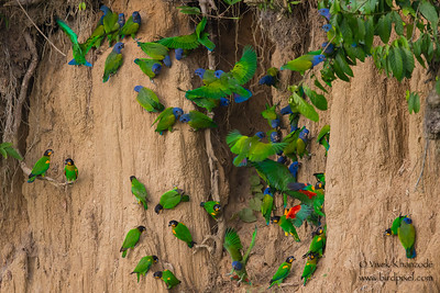 Blue-headed and Orange-cheeked Parrots - Tambo Blanquillo Clay Lick, Manu Biosphere Preserve, Peru