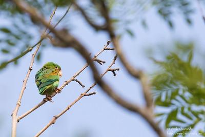 Orange-chinned Parakeet - Record - Gamboa Rainforest Resort, Gamboa, Panama