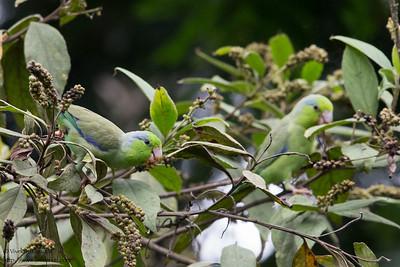 Pacific Parrotlet - Mindo, Ecuador