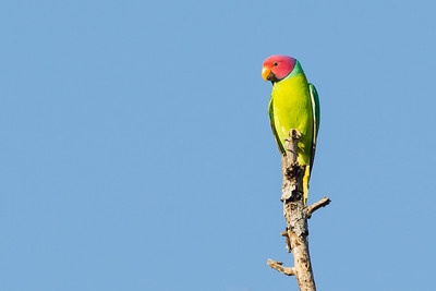 Plum-headed Parakeet - Pench National Park, Madhya Pradesh, India