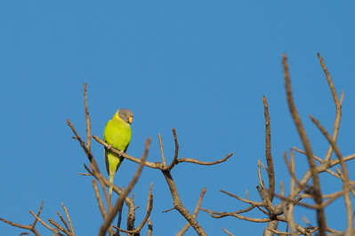 Plum-headed Parakeet - Female - Pench National Park, Madhya Pradesh, India