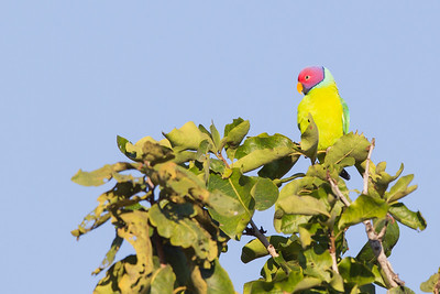 Plum-headed Parakeet - Male - Pench National Park, Madhya Pradesh, India