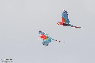 Red-and-Green Macaw - Tambo Blanquillo Lodge, Manu Biosphere Preserve, Peru