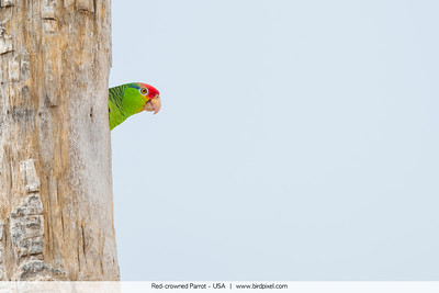 Red-crowned Parrot - USA