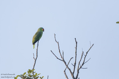 Red-lored Parrot - Chiquibul National Park & Reserve, Belize