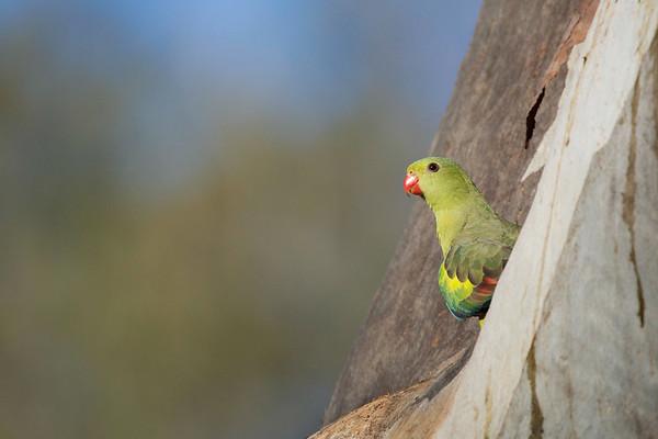 David Stowe_Regent Parrot-9225-Edit