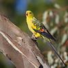 David Stowe_Regent Parrot-9129
