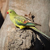 David Stowe_Regent Parrot-9272-Edit