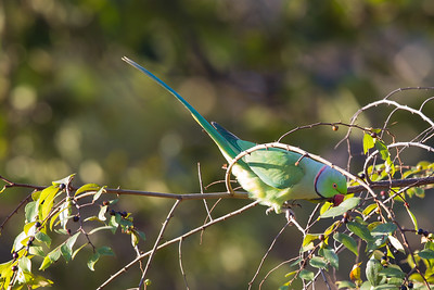 Rose-ringed Parakeet - Pench National Park, Madhya Pradesh, India