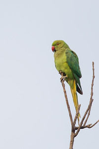 Rose-ringed Parakeet - Ambazari garden, Nagpur, India