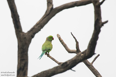 Rose-ringed Parakeet - Sultanpur Bird Sanctuary, Haryana, India