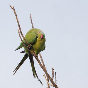 Rose-ringed Parakeets in love - Ambazari garden, Nagpur, India