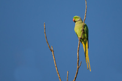 Rose-ringed Parakeet - Ambazari garden, Nagpur, India