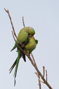 Rose-ringed Parakeets in love - Ambazari garden, Nagpur, India