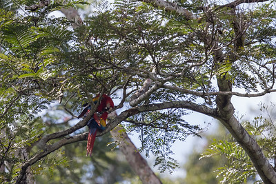 Scarlet Macaw - Chiquibul National Park & Reserve, Belize
