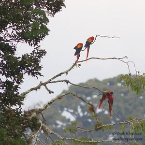 Scarlet Macaw - Rio Tarcoles, Costa Rica