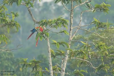 Scarlet Macaw - Record - Amazon, Ecuador