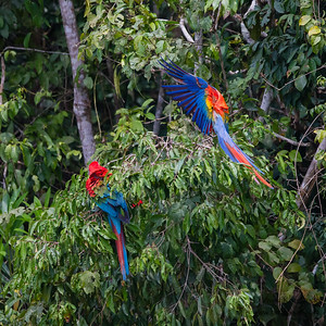 Red-and-Green Macaw and a Scarlet Macaw - Tambo Blanquillo Clay Lick, Manu Biosphere Preserve, Peru