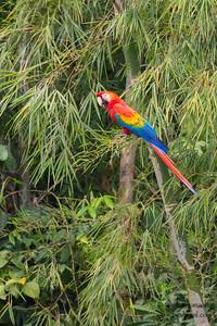 Scarlet Macaw - Tambo Blanquillo Clay Lick, Manu Biosphere Preserve, Peru