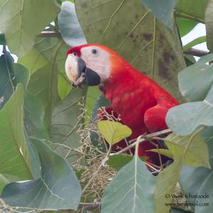 Scarlet Macaw - Osa, Costa Rica