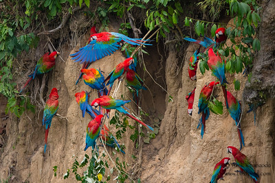 Red-and-Green Macaws and a single Scarlet Macaw - Tambo Blanquillo Clay Lick, Manu Biosphere Preserve, Peru