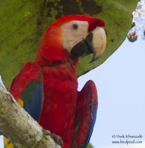 Scarlet Macaw - Portrait - Osa, Costa Rica