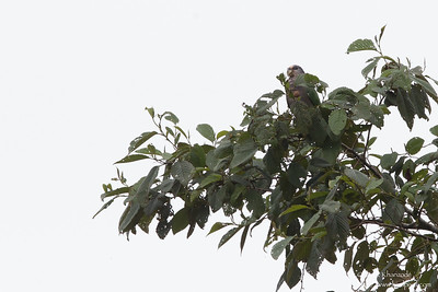 Speckle-faced Parrot - Record - San Isidro Lodge, Ecuador