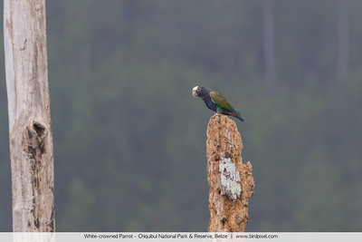 White-crowned Parrot - Chiquibul National Park & Reserve, Belize