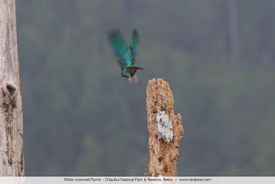 White-crowned Parrot - Chiquibul National Park & Reserve, Belize