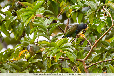 White-crowned Parrot - Cartago, Costa Rica