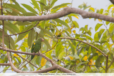 White-winged Parakeet - Peru