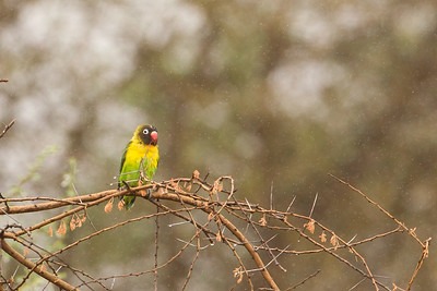 Yellow-collared Lovebird - Tarangire National Park, Tanzania