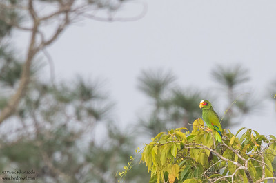 Yellow-crowned Parrot - Record - Crooked Tree, Belize