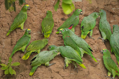 Mealy Parrots & Yellow-crowned Parrots - Amazon, Ecuador