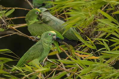 Yellow-crowned Parrot - Amazon, Ecuador